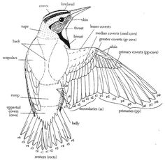 3. The Wings The Wings: The wings are some of the most complex adaptations evolved by birds to cope with their lifestyle and so are equally complicated in their morphology. In general, however, a s…