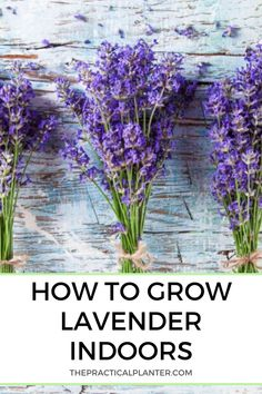 Hoping to grow lavender indoors but you don't know where to start? Check out this care guide plus care tips for optimal growth. Hoping to grow lavender indoors but you don't know where to start? Check out this care guide plus care tips for optimal growth. Indoor Lavender Plant, Lavender Plant Care, Potted Lavender, Best Indoor Plants, Lavender Flowers, Lavender Fields, Purple Roses, Growing Lavender Indoors, Growing Herbs Indoors