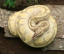 Super Pastel Butter Enchi Ghost Ball Python