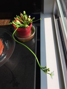 This Venus Fly Trap bloomed