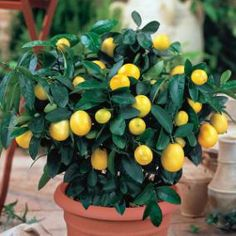 Dwarf Lime Tree - These indoor citrus trees only reach about two - three feet in height and produce full-size, bright fruit Patio Plants, Garden Plants, Indoor Plants, House Plants, Citrus Trees, Fruit Trees, Lime Trees, Fruit Plants, Citrus Fruits
