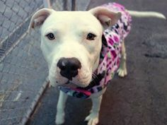 TO BE DESTROYED: 12/6/2014 Manhattan Center LILY - A1021726 FEMALE, WHITE, PIT BULL MIX, 1 yr, 4 mos OWNER SUR - EVALUATE, NO HOLD Reason PETS CONFL Intake condition EXAM REQ Intake Date 11/26/2014, From NY 10456, DueOut Date 11/26/2014, https://www.facebook.com/photo.php?fbid=913512028661677