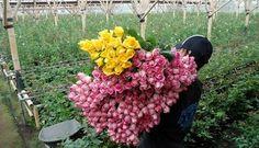 Peluang Bisnis Tanaman Hias Bunga Mawar