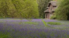 Kew Gardens: Nestled at the back of the botanic gardens, the grounds of Queen Charlotte's eighteenth-century thatched cottage boast one of London's finest bluebell woods.