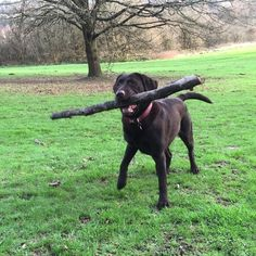 If only my mother could see me with my stick .. But she's stuck at home cuz my Daddy made her pregnant again  by labradors4life