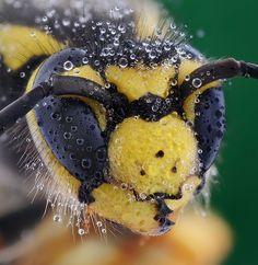 Wasp & Dew by soheil shahbazi, via 500px - http://www.facebook.com/pages/Préservons-les-abeilles/351553211631221