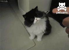 White Cat Funny Gif #49410 - Funny Cat Gifs|Funny Gifs|Cat Gifs