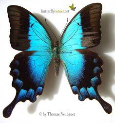 ButterflyCorner.net: Papilio pericles