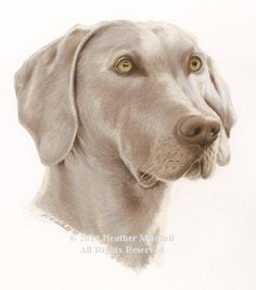 Weimaraner Portrait by Heather A. Mitchell Colored Pencil ~ 10 x 8