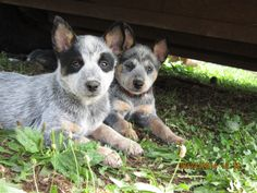 Elena and Mia! Cattle dogs rule raised pups!