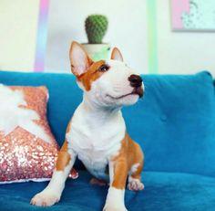 Instagram @moosetheminibully Laurdiy's new dog!!