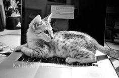 My F6 Savannah kitten Simba - He still does this.