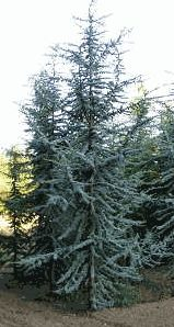 The Weeping Blue Atlas Cedar Also Known As Cedrus Atlantica Glauca Pendula And Of Lebanon Is Evergreen Conifer Tree Grown In Res