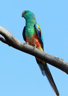 Tropical Birds, Exotic Birds, Colorful Birds, Most Beautiful Birds, Pretty Birds, Animals And Pets, Cute Animals, Australian Parrots, Parrot Pet