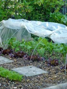 Unter dem Folientunnel:  Roter Pflücksalat, Rettiche, dahinter Kopfsalat. Dazwischen Große Küchenzwiebel Im Hintergrund Rhabarber und Johannisbeeren Im Vordergrund: Gartenkresse