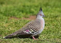 Crested Pigeon (Ocyphaps lophotes) is only one of the two upright crested pigeons of Australia. Living in grasslands and wooded areas, their range has expanded into places of human habitation such as homestead gardens, parks and golf courses.