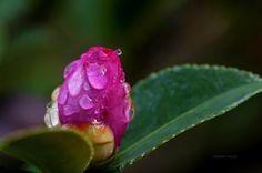 Camellia - Kamelya