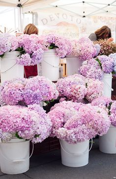 Beautiful buckets of pink hydrangea