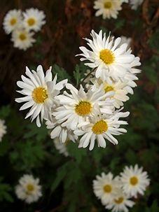 Chrysanthemum 'EH Wilson'