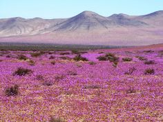 "From ""PHOTOS: Flowers bloom in the Atacama desert"" Places To Travel, Travel Destinations, Places To Visit, Deserts Of The World, Dry Desert, Biomes, Worlds Of Fun, Nature Pictures, Ciel"