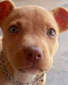 . Cute Funny Animals, Cute Dogs, Pit Puppies, Pit Bull Love, Hunting Dogs, Dog Memes, Animals Beautiful, Animals And Pets, Fur Babies