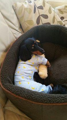 Bedtime sausage #dachshund