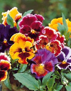 I love pansies Flowers Nature, Exotic Flowers, Amazing Flowers, Pretty Flowers, My Flower, Flower Power, Fleur Pansy, Types Of Flowers, Flower Photos