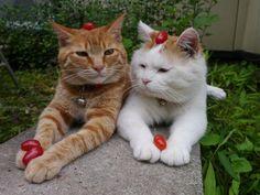 Zen cat, strawberries