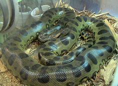 The Green anaconda (Eunectes murinus) of South Anerica is the largest snake in the world by weight. Anaconda Verde, Giant Anaconda, Anaconda Snake, Green Anaconda, Anaconda Gigante, World's Largest Snake, Snake Information, Eunectes Murinus, Animals