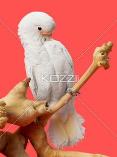 close-up shot of a parrot on wooden log. - Image of a white young cockatoo sitting wooden log against white background.