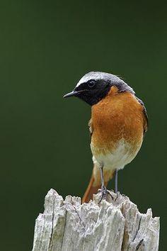 ♥ Redstart ~ Phoenicurus phoenicurus ---- Gekraagde roodstaart, man