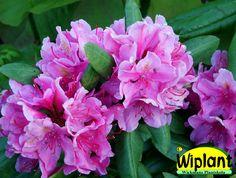 Rhododendron catawbiense-gruppen 'Eino', rhododendron. Höjd: 1,2 m. Zon III.