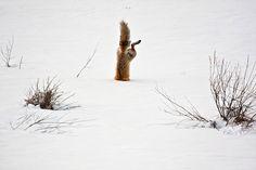 Cele mai bune fotografii National Geographic 2012 7. O vulpe rosie, vanand | 7 din 12