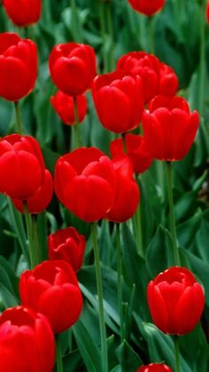 Spray the foliage of your plants and watch the insects flee. *** To view further for this article, visit the image link. Flowers Gif, Tulips Flowers, Butterfly Flowers, Flowers Nature, Gifs, Bloom Blossom, Beautiful Gif, Red Tulips, Amazing Flowers