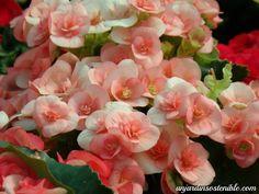 .: Begonia Elatior (Begonia, Begonia de flor)