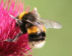 Bee on pink flower.