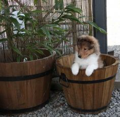 Sheltie Puppy. Yup. They're legitimately that cute in real life.