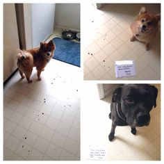 My sister's Boxador Sampson and throwback Pomeranian Kaya are always causing some form of mischief...or mess!
