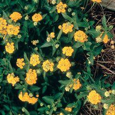 2 5 Qt New Gold Lantana Live Perennial Plant Bright Yellow Bloom Clusters 3794q The Home Depot Lantana Perennial Plants Plants