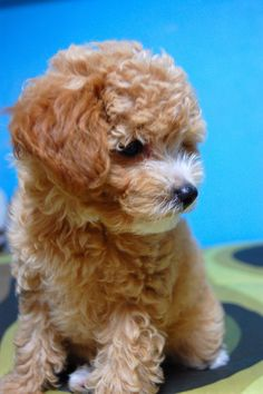 Toy Poodle.  I remember when Angel was that little!