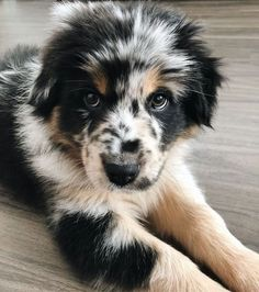 cute Australian shepherd mix puppyIn 1897 only hand-chosen members were allowed to get their very own Weimaraner puppies. Australian Shepherd Mix Puppies, Aussie Puppies, Cute Dogs And Puppies, Baby Dogs, Aussie Shepherd, Cutest Dogs, Australian Puppies, Cute Fluffy Puppies, Cockapoo Puppies