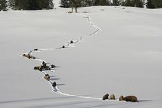Bison in deep snow, Yellowstone National Park, Wyoming (pinned by haw-creek.com)