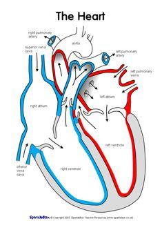 Label the heart worksheets - SparkleBox Ks2 Science, Science Notes, Science Biology, Preschool Science, Teaching Science, Life Science, Gcse Biology Revision, Igcse Biology, Heart Diagram