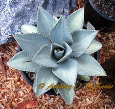 Agave Pygmaea 'Snow Dragon' Snow Dragon, Agave Plant, Big Garden, Desert Plants, Cacti And Succulents, Air Plants, Container Gardening, Perennials, Tattoo