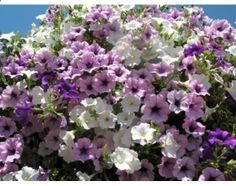 How to Grow Large Hanging Flower Baskets - Quick tips on soil, types of plants and hanging.