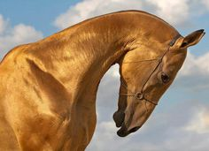 Akhal-Teke stallion Magnatli from Russia - his coat is like shining pure gold! Beautiful Horse Pictures, Most Beautiful Horses, All The Pretty Horses, Akhal Teke Horses, Mundo Animal, Camels, Equine Photography, Horse Love, Horse Breeds