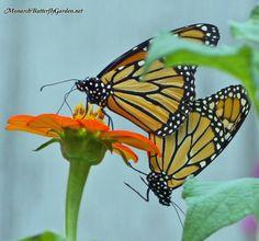 Monarch Butterflies love the sweet taste of Mexican Sunflowers.