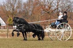 Friese tuigpaarden met Sjees.