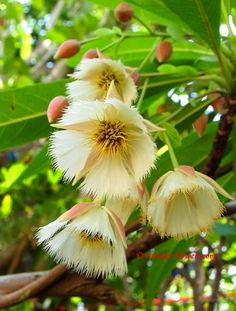 Rudraksha tree (Elaeocarpus grandiflorus) with flowers Tropical Flowers, Unusual Flowers, Beautiful Flowers, Rare Orchids, Cactus, Love Garden, Exotic Plants, Flowering Trees, Native Plants