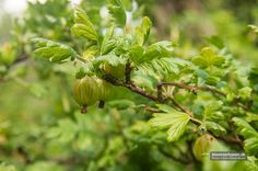 More gooseberries – unknown sort from www.blomsterhaven.dk